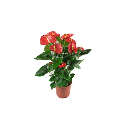 Fresh Red Anthurium Original Flower Plant, 1Pc