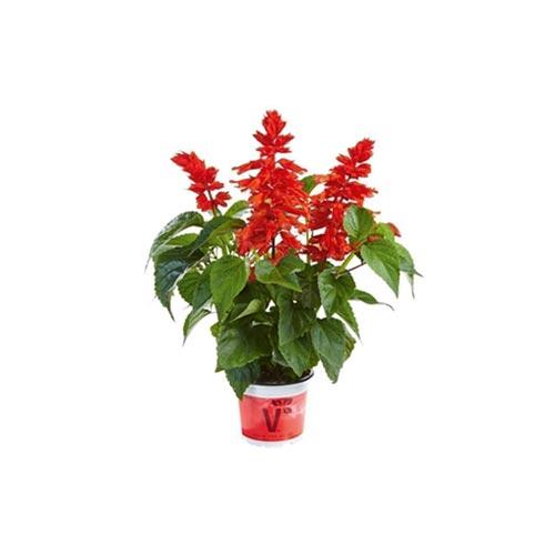 Fresh Red Salvia Original Flower Plant, 1Pc