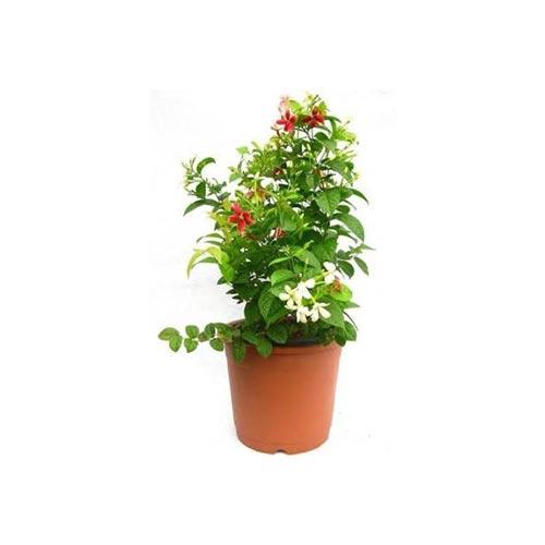 Fresh Rangoon/ Madhumalati Original Flower Plant, 1Pc