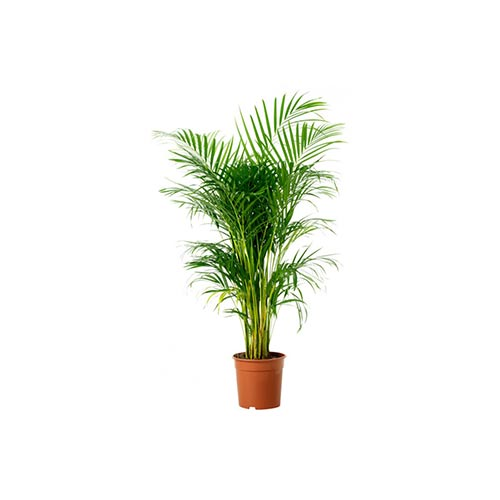 Big Areca Plam Plant with Pot, 1Pc