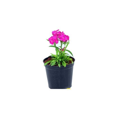 Fresh Dianthus Chinensis Original Flower Plant, 1Pc
