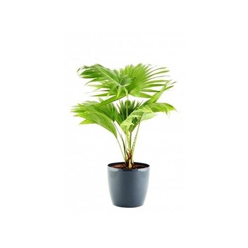 China Palm Plant, 1Pc