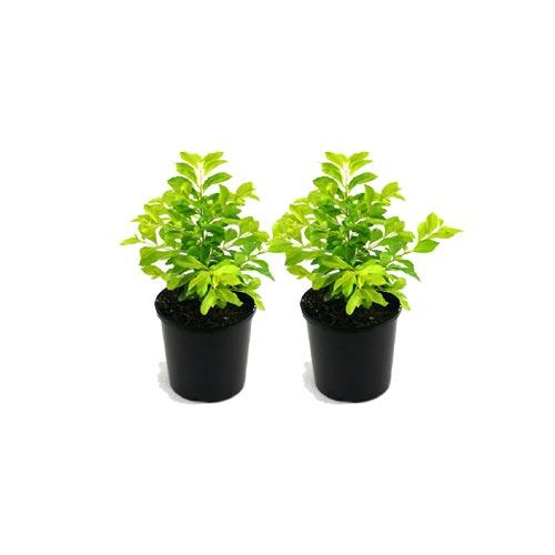 Boundary Haze Plant, Pack of 2