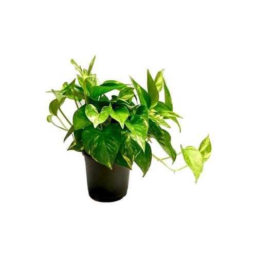 Money Plant, 1Pc