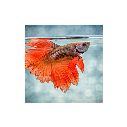 Live Fighter Fish, 1Pc
