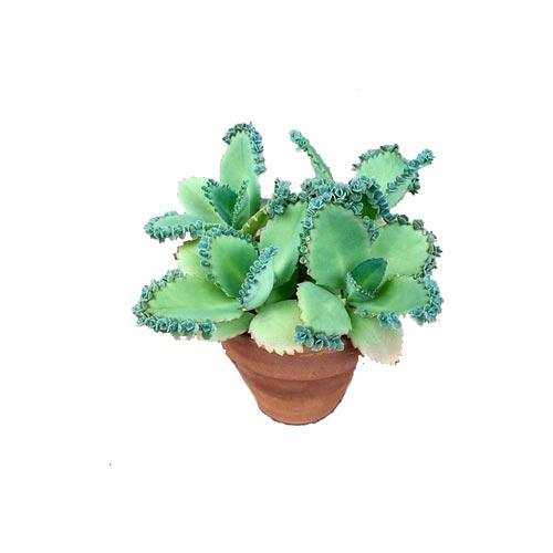 Kalanchoe Succulent Plant With Nursery Pot, 1Pc
