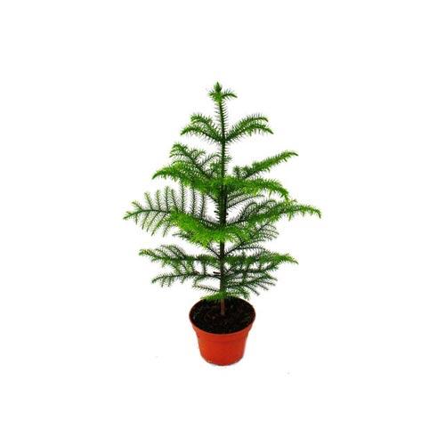 X-Mas Plant with Nursery Pot, 1Pc
