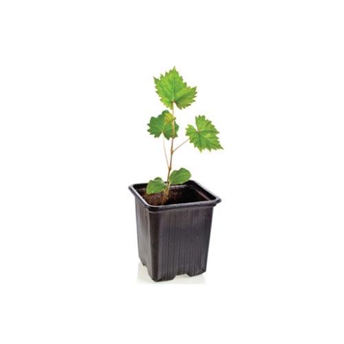 Green Grapes Sapling / Angur Chara, 1Pc