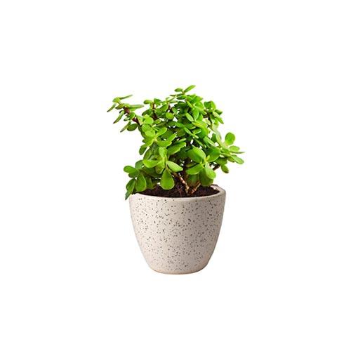 Green Jade Plant, 1Pc