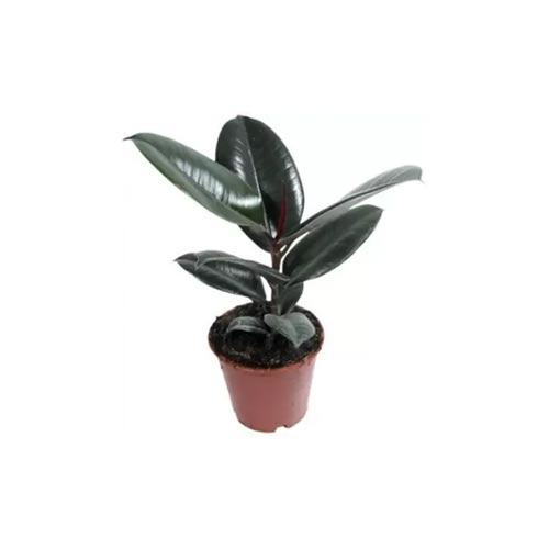 Indoor Rubber Plant, 1Pc