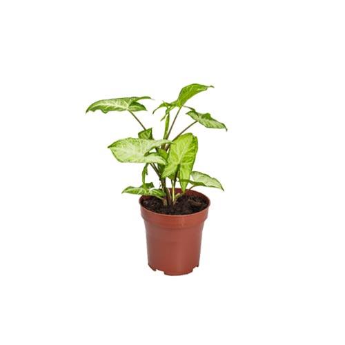 Syngonium Plant with Pot, 1Pc