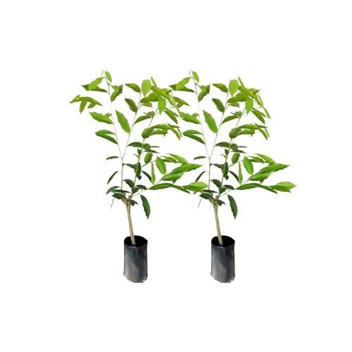 Agar Plant Sapling / Agar Chara, Pack of 2