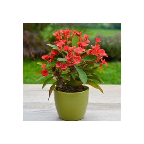 Fresh Red Cactus Original Flower Plant, 1Pc