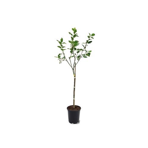 Apple Plant Sapling / Apple Chara, 1Pc