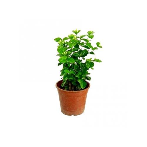 Fresh Beli Original Flower Plant, 1Pc