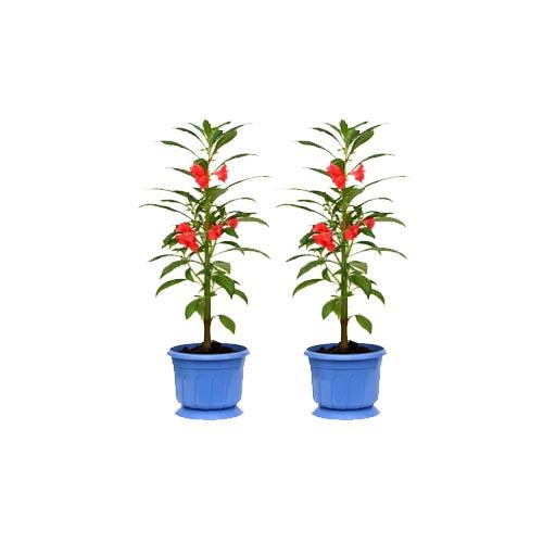 Fresh Red Dupati Original Flower Plant, 2Pc