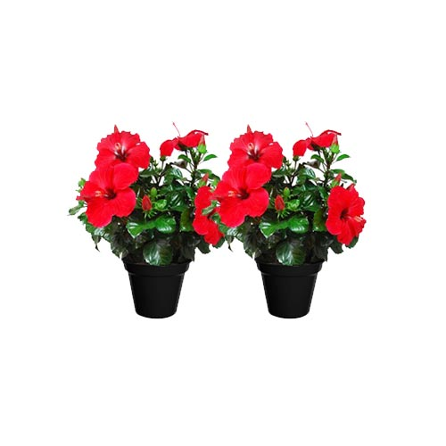 Fresh Red Hibiscus / Jaba Original Flower Plant, 1Pc