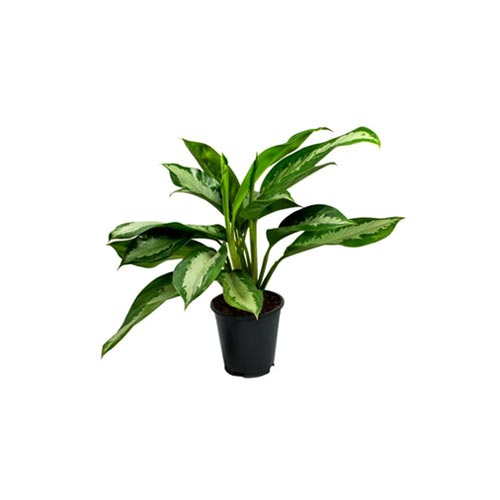 Aglaonema White Plant, 1Pc
