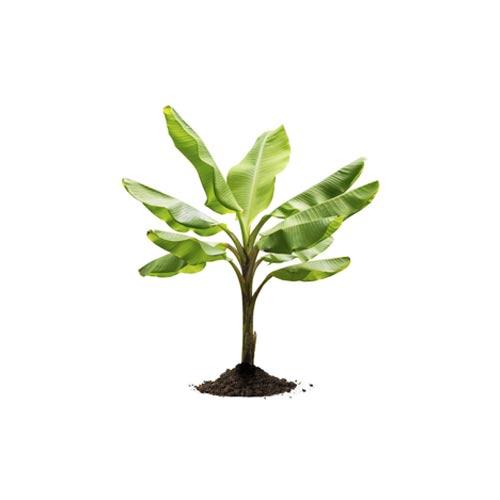 Raw Banana Plant Sapling / Kacha Kola Chara, 1Pc