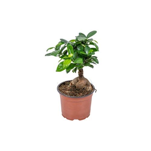 Ficus Bonsai Plant, 1Pc