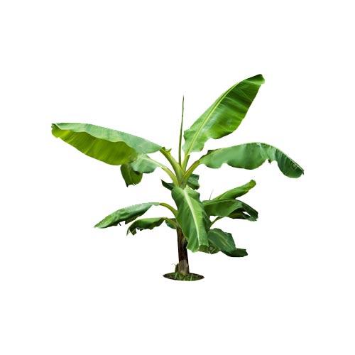 Banana Sapling / Sopri Kola Chara, 1Pc