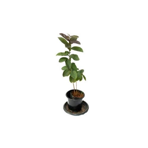 Black Guava Plant Sapling / Goyam Chara, 1Pc