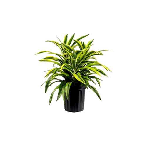 Dracaena Victoria Plant, 1Pc
