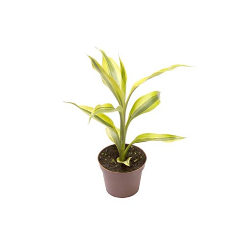 Golden Lucky Bamboo Plant, Single Stick, 1Pc