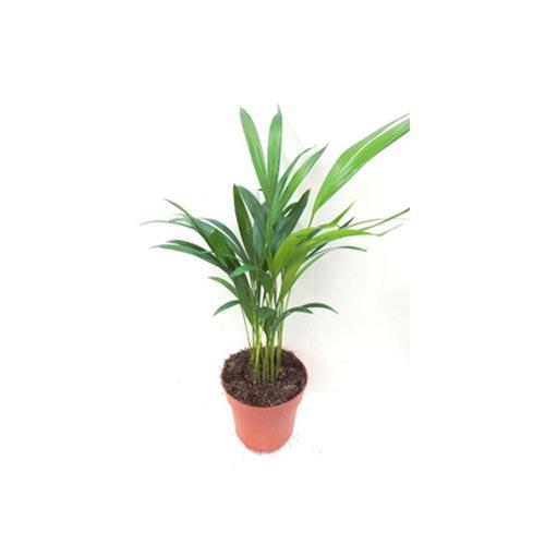 Small Areca Plam Plant, 1Pc