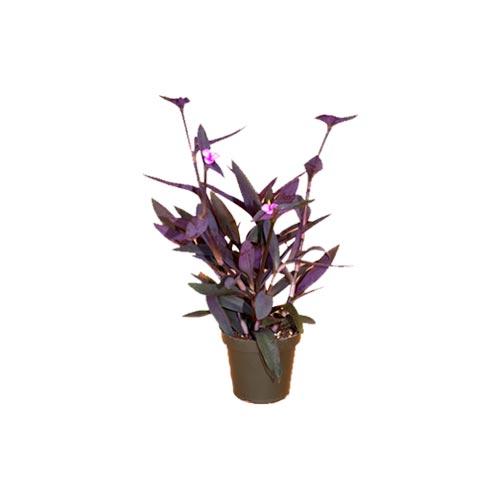Purple Heart Plant, 1Pc