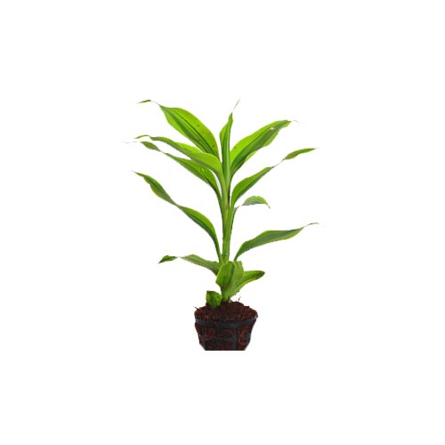 Green Lucky Bamboo Plant, Single Stick, 1Pc