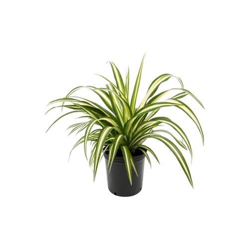 Spider Plant, 1Pc