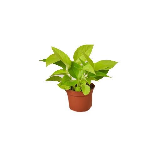 Golden Money Plant, 1Pc